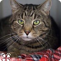 Adopt A Pet :: Flip Flop - Merrifield, VA