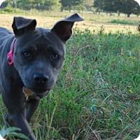 Adopt A Pet :: Blueberry - Georgetow, TX