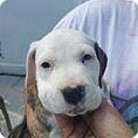Adopt A Pet :: Skye - Marlton, NJ