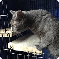 Domestic Shorthair Cat for adoption in Harrisburg, Pennsylvania - Rippley (adult male)
