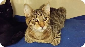 Domestic Shorthair Kitten for adoption in Westbury, New York - Rudy
