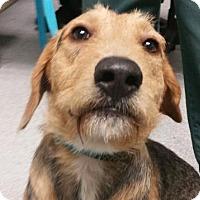 Adopt A Pet :: Colonel Mustard - Lincolnton, NC