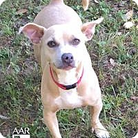 Chihuahua/Pit Bull Terrier Mix Dog for adoption in Tomball, Texas - Tempe