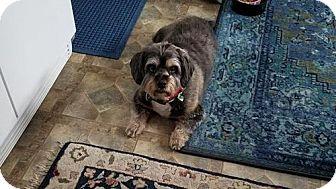 Shih Tzu Dog for adoption in Seaford, Delaware - Skip