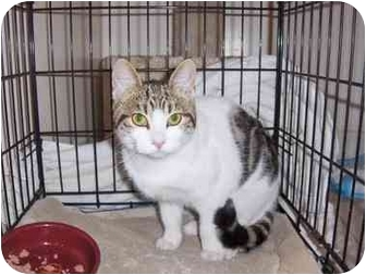 American Shorthair Kitten for adoption in Los Angeles, California - Flower