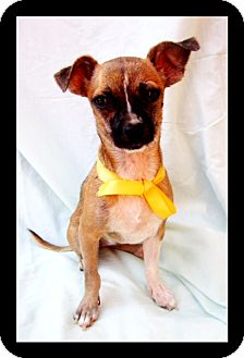 Chihuahua Mix Puppy for adoption in El Cajon, California - LITTLE BONES (CANADA)