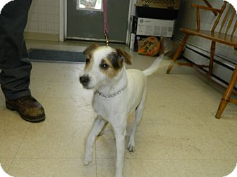 Jack Russell Terrier Mix Dog for adoption in Tinton Falls, New Jersey - Nina
