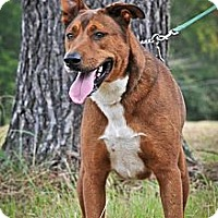 Great Dane/Labrador Retriever Mix Dog for adoption in Jackson, Mississippi - Huey