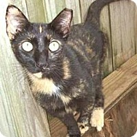 Domestic Shorthair Cat for adoption in Miami, Florida - Cloee