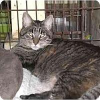 Adopt A Pet :: Poncho - Lombard, IL