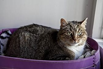 Domestic Shorthair Cat for adoption in Midway City, California - Cricket