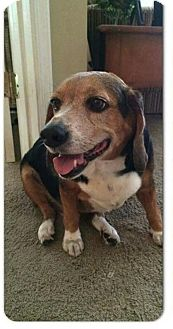 Beagle Dog for adoption in Glen St Mary, Florida - Reggie