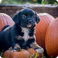 Adopt A Pet :: Omelette - Austin, TX