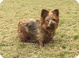 Yorkie, Yorkshire Terrier Mix Dog for adoption in Knoxville, Tennessee - Jordan
