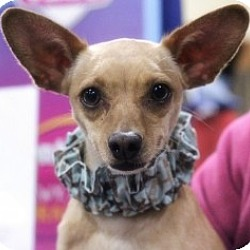 Photo 2 - Chihuahua Mix Dog for adoption in Mesa, Arizona - Doodles