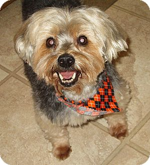 Yorkie, Yorkshire Terrier Mix Dog for adoption in Barium Springs, North Carolina - SKIPPER