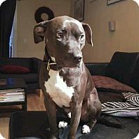 Adopt A Pet :: Max, sweet and athletic boy - Sacramento, CA