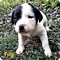 Adopt A Pet :: Tulip - Garden City, MI