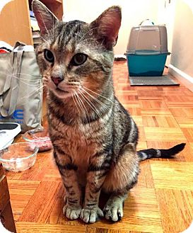 Domestic Shorthair Cat for adoption in Jersey City, New Jersey - Bowie