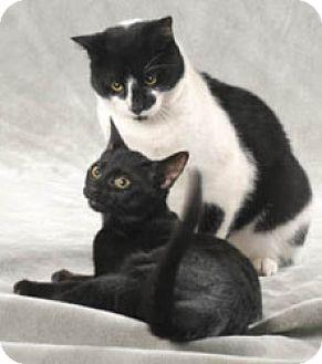 Domestic Shorthair Cat for adoption in Libertyville, Illinois - Ninja
