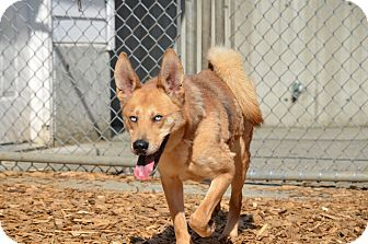 German Shepherd Dog/Husky Mix Dog for adoption in Seattle, Washington - Queso