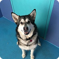 Alaskan Malamute Dog for adoption in San Francisco, California - Nikka