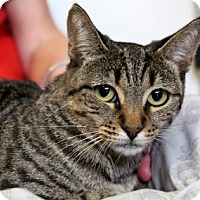 Adopt A Pet :: Chamomile - Sarasota, FL