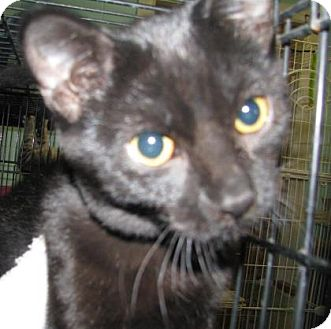 Domestic Shorthair Kitten for adoption in Las Cruces, New Mexico - Midget