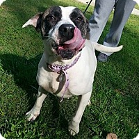 Pit Bull Terrier/Boxer Mix Dog for adoption in Shinnston, West Virginia - Violet