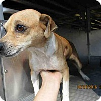 Chihuahua Dog for adoption in Conroe, Texas - BUNNY