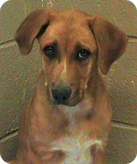 German Shepherd Dog/Husky Mix Puppy for adoption in Maynardville, Tennessee - Rachael
