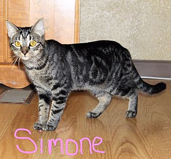 Domestic Shorthair Cat for adoption in Jesup, Georgia - Simone