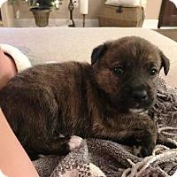 Adopt A Pet :: Boo Radley - Houston, TX