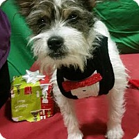 Fox Terrier (Wirehaired)/Terrier (Unknown Type, Small) Mix Puppy for adoption in Detroit, Michigan - JP - Pending!
