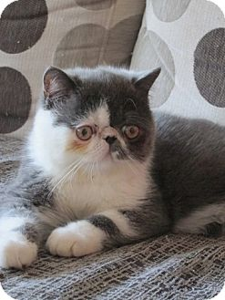 Exotic Kitten for adoption in Beverly Hills, California - Troy loves Barnaby