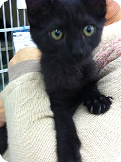 Domestic Shorthair Kitten for adoption in Riverhead, New York - Onyx