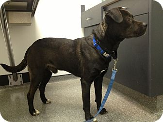 Labrador Retriever Mix Dog for adoption in Richmond, Virginia - Pilot