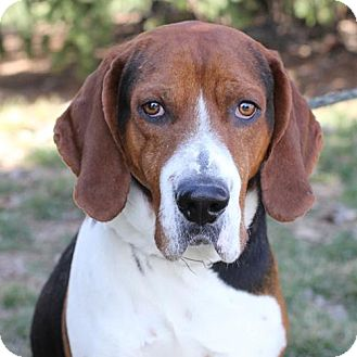 Coonhound Mix Dog for adoption in Springfield, Illinois - Beau