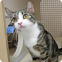 Adopt A Pet :: Bodacious - Gilbert, AZ
