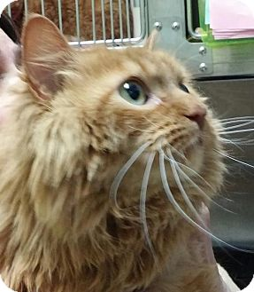 Domestic Longhair Cat for adoption in Milwaukee, Wisconsin - Kixx