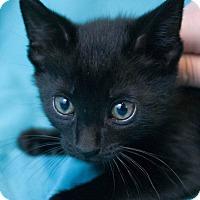 Adopt A Pet :: Little Farmer - Muskegon, MI