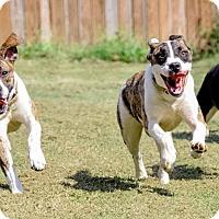 Adopt A Pet :: Brooke - Midlothian, VA