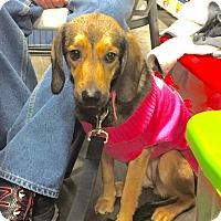 Adopt A Pet :: Sissy - Hillsboro, IL