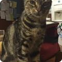 Domestic Shorthair Cat for adoption in Breinigsville, Pennsylvania - Chloe