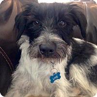 Adopt A Pet :: Zoey - McKinney, TX