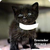 Adopt A Pet :: FIRECRACKER - Conroe, TX