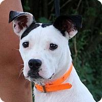 Adopt A Pet :: Adeline - Glastonbury, CT