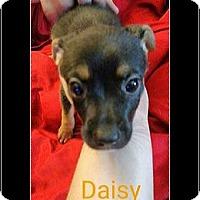 Adopt A Pet :: Daisy - Rancho Cucamonga, CA