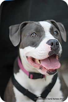 Pit Bull Terrier Mix Dog for adoption in Goleta, California - Sugar