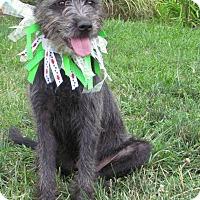 Adopt A Pet :: Arlow - St Louis, MO